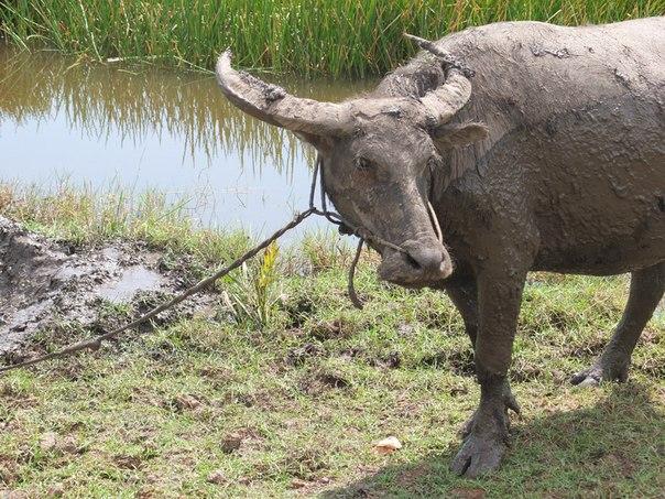 Полудомашние буйволы