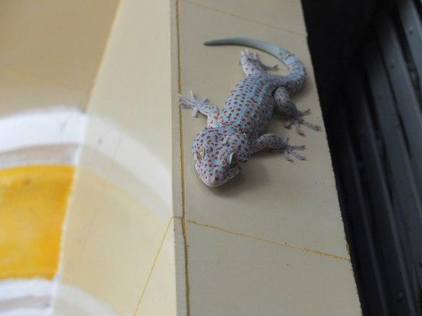 Наблюдательный геккон по имени Такай
