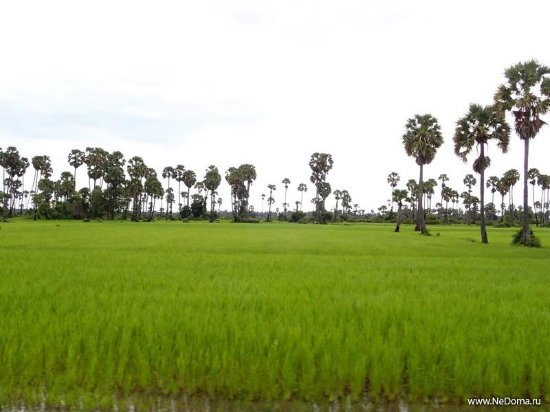 Рис и пальмы
