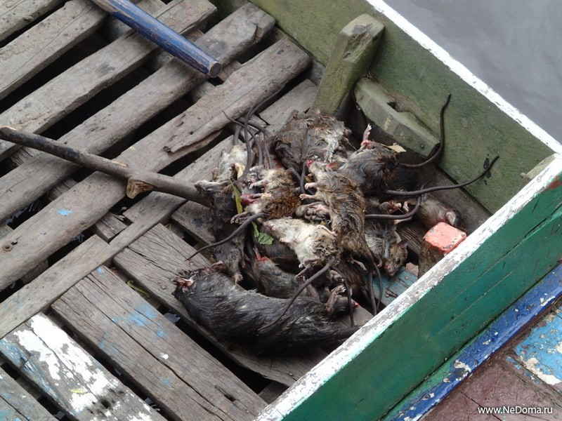 Крыски на обед