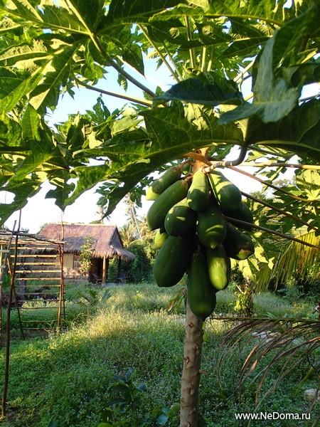Дворовая папайя