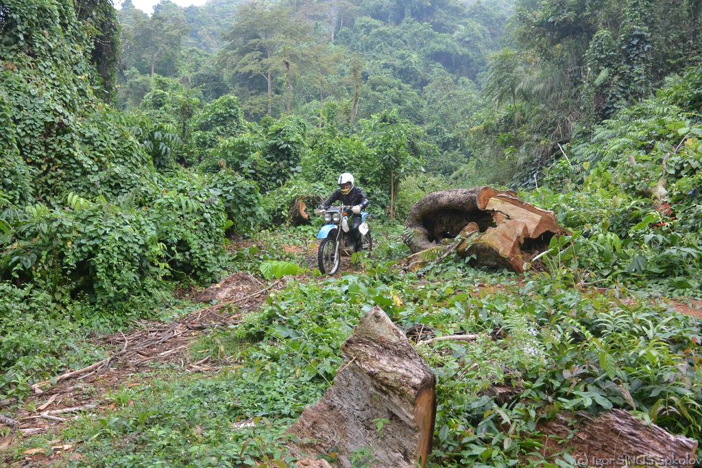выбрались на тропинку из джунглей к срубленному браконьерами красному дереву