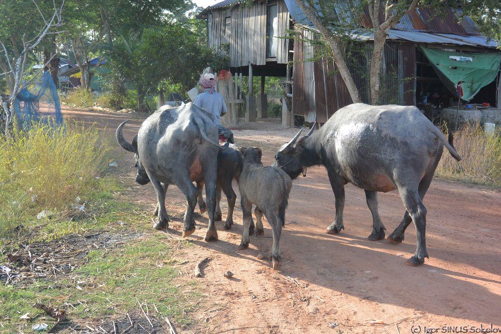 водяные быки на прогулке